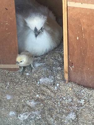 烏骨鶏とヒナ